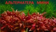 Альтернатера мини. наборы растений для запуска. Почтой отправлю1