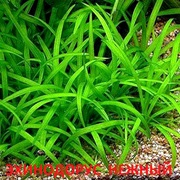 Эхинодорус нежный. НАБОРЫ растений для запуска акваса. ПОЧТОЙ отправл