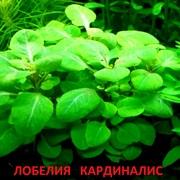 Лобелия кардиналис. НАБОРЫ растений для запуска акваса. ПОЧТОЙ отправл