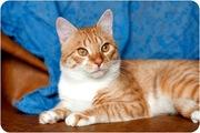 Ларик- шикарный крупный кот