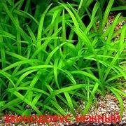 Эхинодорус нежный - аквариумные растения. Наборы растений для запуск