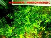 Хемиантус микроимоидес и др. аквариум-е растения,  наборами для запуск=