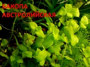 Бакопа австролийская и др. аквариум-е растения,  наборами для запуска=