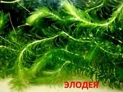 Элодея канадская -- аквариумные растения. Наборы растений для запуска/