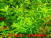 Ротала зеденая - аквариумное растение и много других разных растений