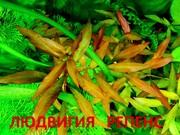 Людвигия гибридная. Наборы растений для запуска и перезапуска аквари=