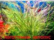 Аквариумные растения. Погостемон октопус. Наборы для запуска. ПОЧТОЙ=