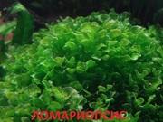 Аквариумные растения. Папоротник ломариопсис. Наборы для запуска. ПОЧ=