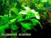 Людвигия зеленая. Наборы растений для ЗАПУСКА и ПЕРЕЗАПУСКА акваса.