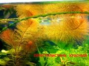 Перестолистник красный. Наборы растений для ЗАПУСКА и перезапуска.