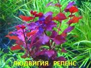 Людвигия РЕПЕНС. Наборы растений для ЗАПУСКА и перезапуска