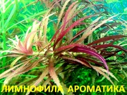 Лимнофила ароматика. Наборы растений для ЗАПУСКА и перезапуска акваса
