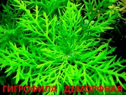 Синема деморфная. Наборы растений для запуска. ПОЧТОЙ,  МАРШРУТКОЙ пере