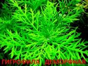Синема деморфная. Наборы растений для ЗАПУСКА и ПЕРЕЗАПУСКА акваса/