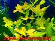 Дубок мексиканский - аквариумные растения. Наборы растений для запус-