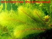 Красностебельный перестолистник и др. растения,  наборами для запус-