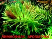 Лимнофила ароматика -- аквариумное растение и разные растения/