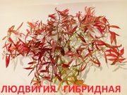 Людвигия гибридная. НАБОРЫ растений для ЗАПУСКА и ПЕРЕЗАПУСКА акв/