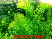 Роголистник. НАБОРЫ растений для ЗАПУСКА и ПЕРЕЗАПУСКА акв/