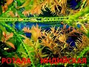 Аквариумные растения. Ротала. Наборы растений для запуска. ПОЧТОЙ от-