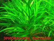 Аквариумные растения. Эриокаулон вьетнам. Наборы для запуска. ПОЧТ-