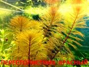 Красный перестолистник и др. аквариум-е растения,  наборами для запус==