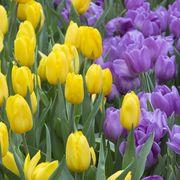 Лучшие тюльпаны к 8 марта оптом и в розницу