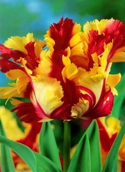 Отборные сортовые розы,  пионы,  тюльпаны,  гортензии,  клематисы,  удобрен