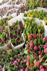 Оптовая закупка тюльпанов в ассортименте